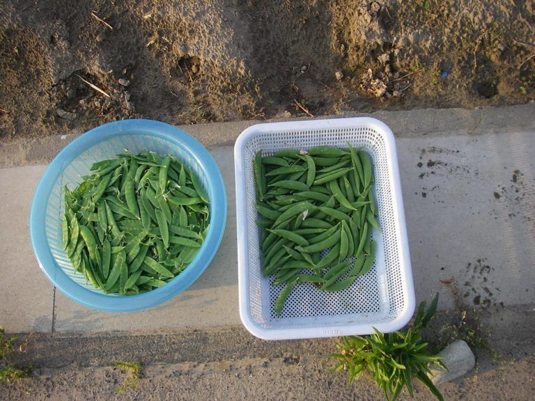 収穫13_05_09