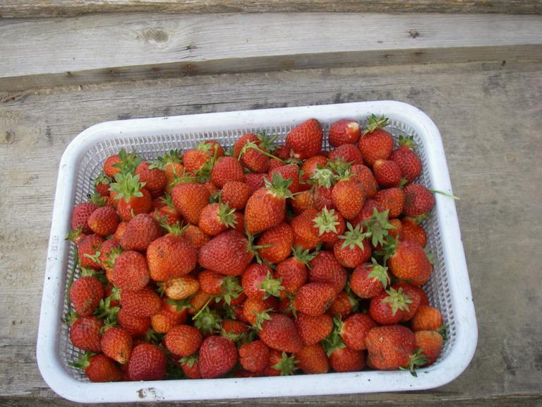 収穫イチゴ13_05_16