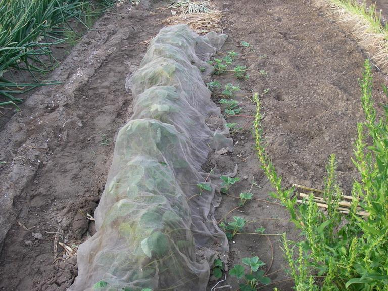 イチゴ苗採り用13_05_16