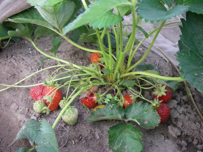 イチゴ苗採り用UP13_05_16
