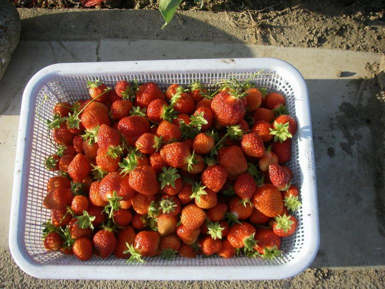 収穫イチゴ13_05_17