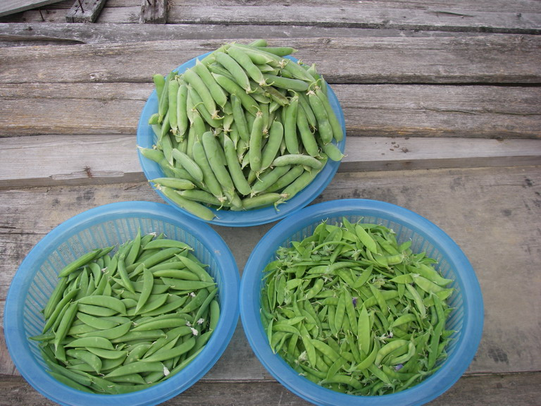 収穫豆三種13_05_18