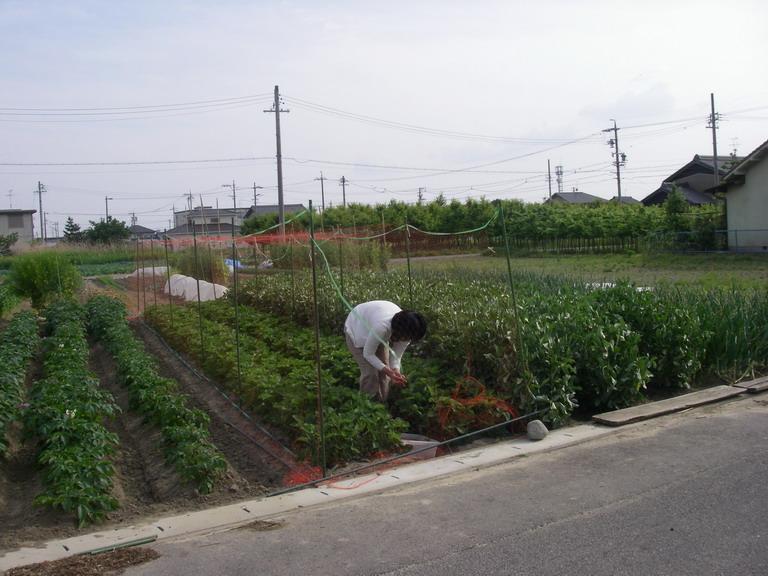 相方イチゴ収穫中13_05_18