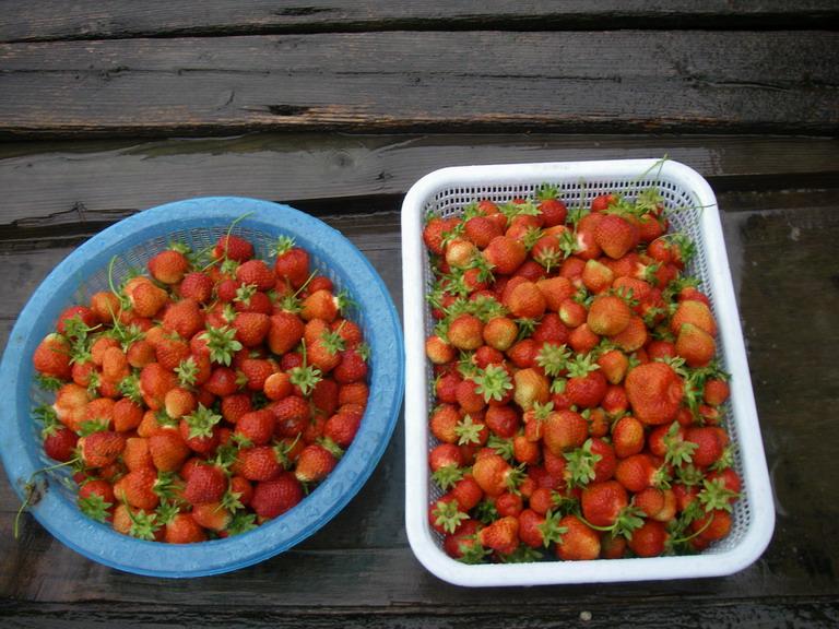 収穫イチゴ13_05_19