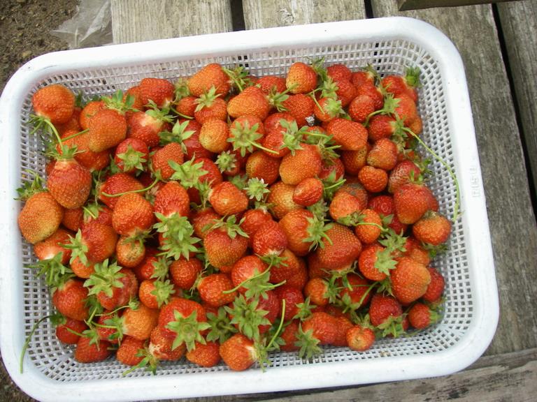 収穫イチゴ13_05_21