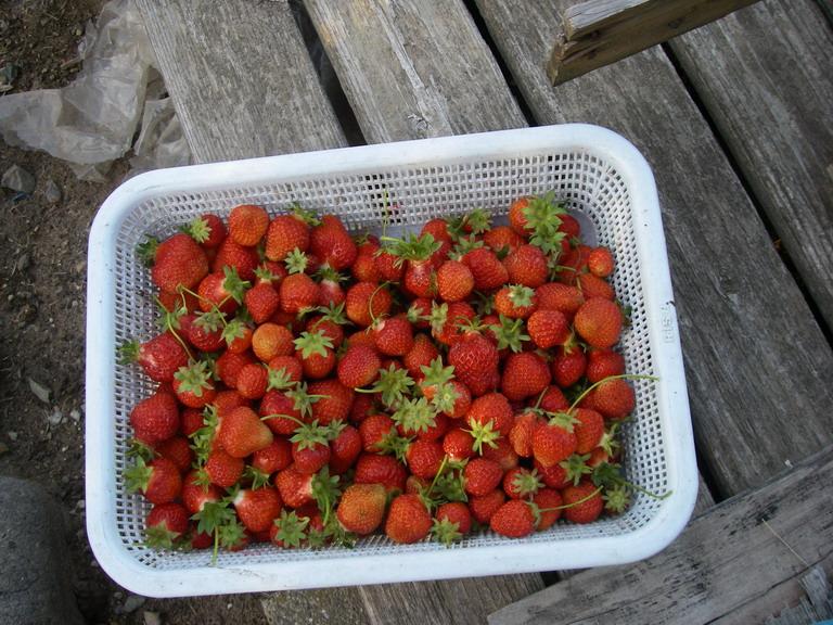 収穫イチゴ13_05_23