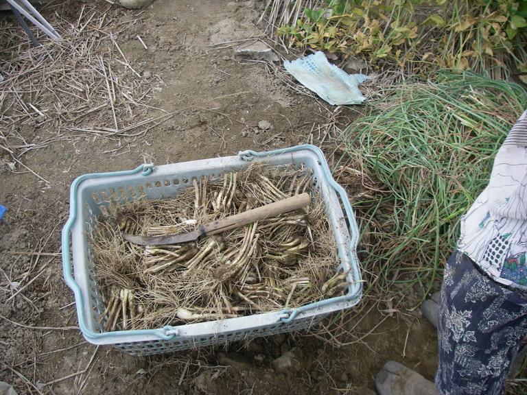ラッキョウ収穫13_05_25
