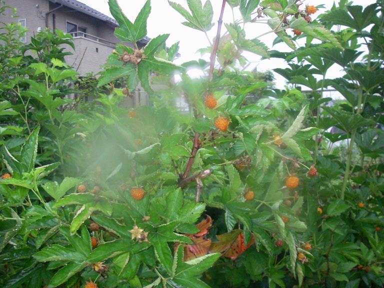 木苺13_05_30