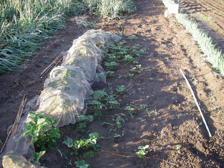 イチゴ苗採り用13_05_31