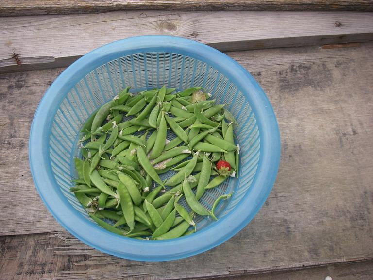 エンドウ収穫13_06_02