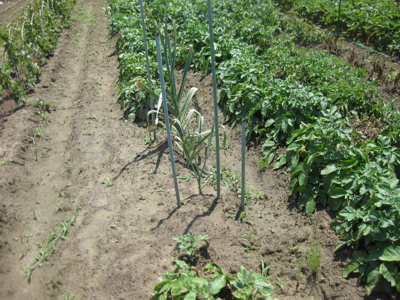 ニンニク二年もの収穫前13_06_08