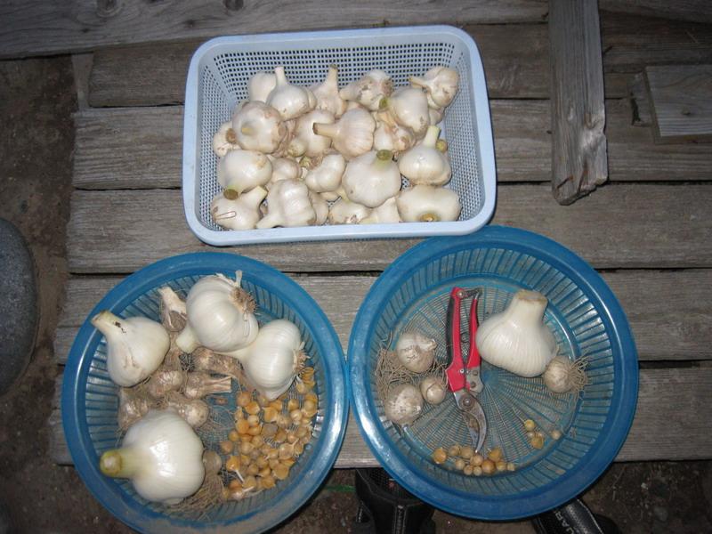 ニンニク収穫13_06_09