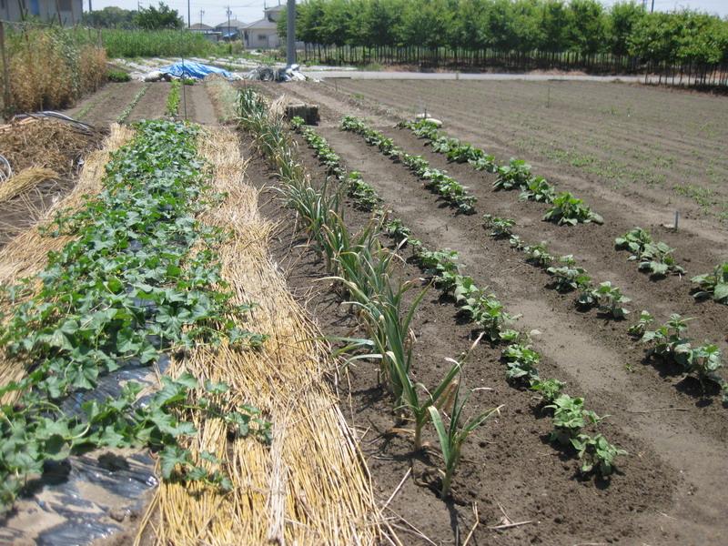 ニンニク収穫前13_06_08