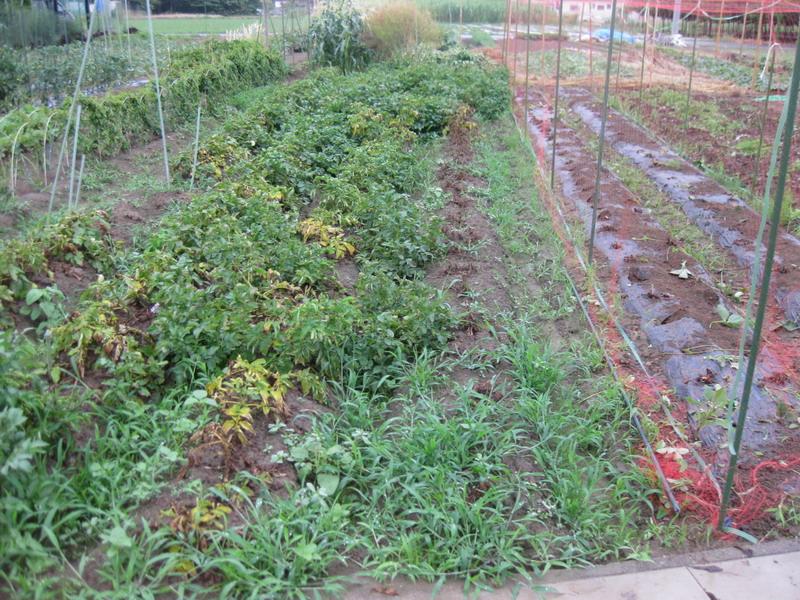 ジャガイモ収穫前13_06_15