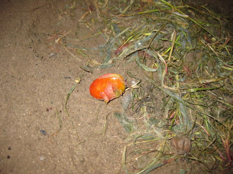 トマト被害13_06_21