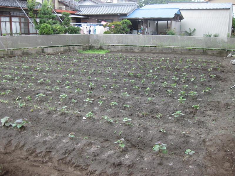 サツマイモ畑13_06_22