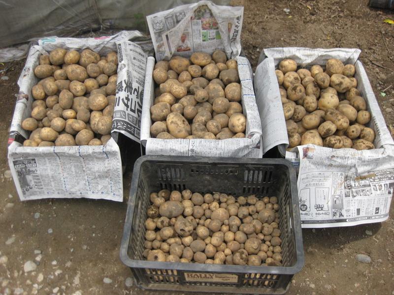 ジャガイモ収穫13_06_23