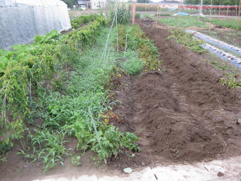 ジャガイモ収穫前13_06_23