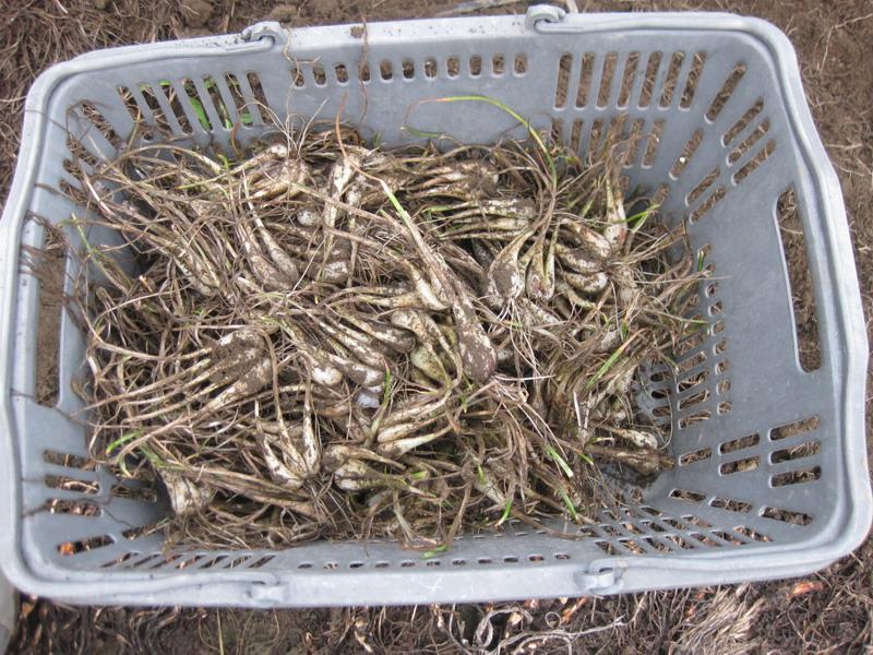 ラッキョウ収穫13_06_24