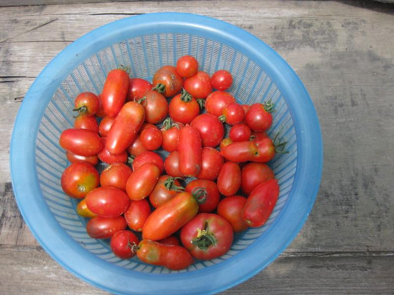 トマト収穫13_06_29