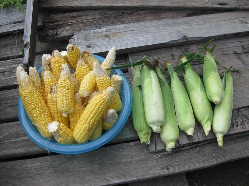収穫昼1_13_07_07