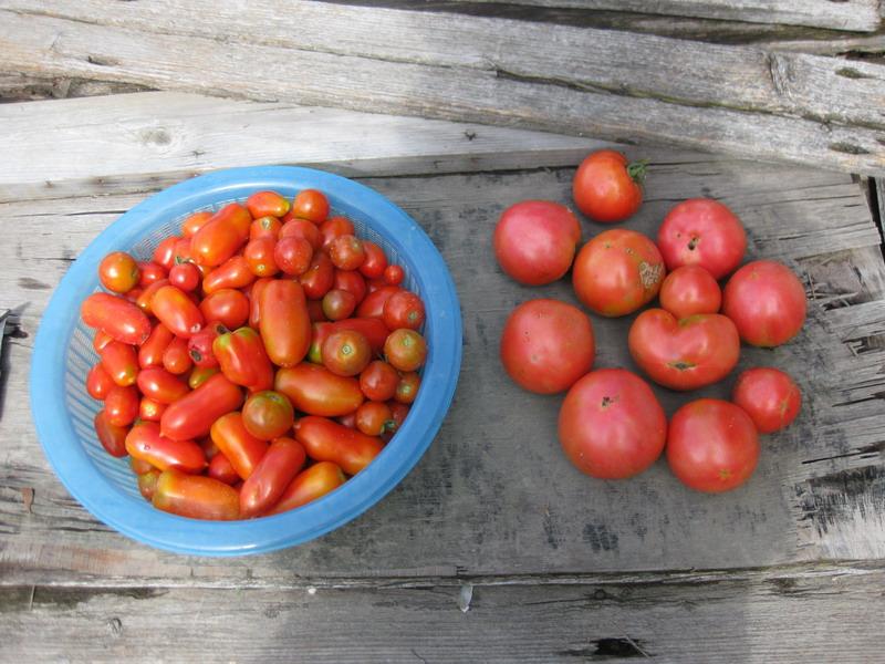 収穫トマト13_07_14