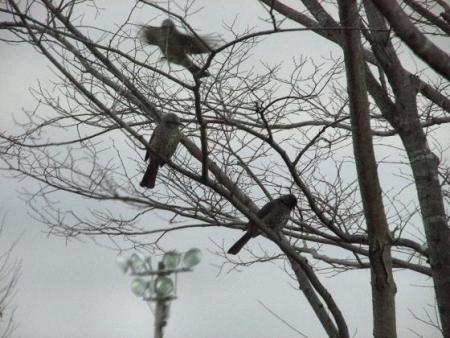 運動公園の野鳥 001