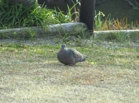 公園の鳩 035
