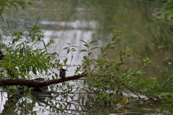 網走湖のカワセミ