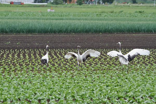 レタス畑で鶴の舞い