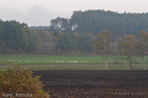 芽が出たばかりの麦畑