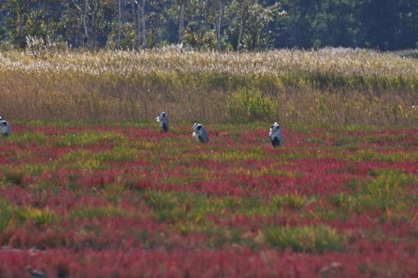 キムアネップのサンゴ草