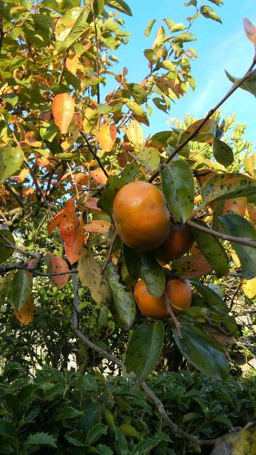 201210051705000010月の柿