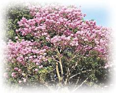 紫イペの木