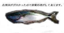 不良中年釣査団-2010-11-21ワラサ