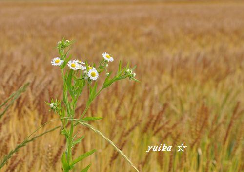 麦畑605