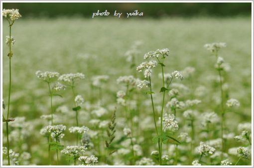 ソバ畑909-1