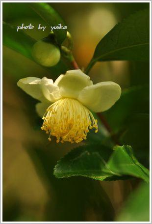 お茶の花1024