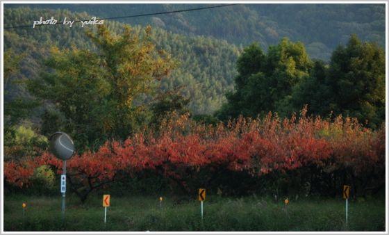 柿の紅葉1109-1