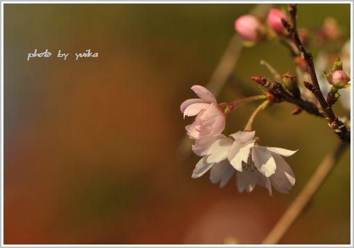 桜1119-1