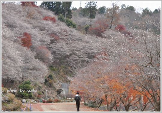 四季桜1202-1