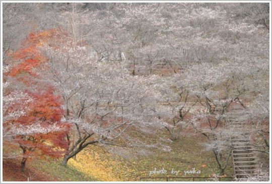 四季桜1202-2
