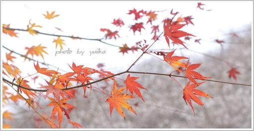 四季桜1202-3