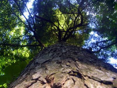 120726ツガの大木に耳をあてる