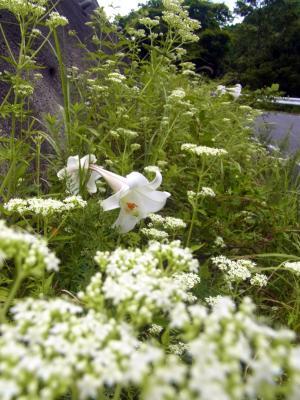 120902舗装された林道の脇に咲く花々を楽しみ