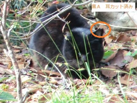 黒A♀耳カット1