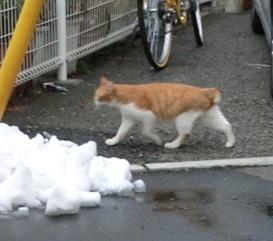 飼い猫茶白