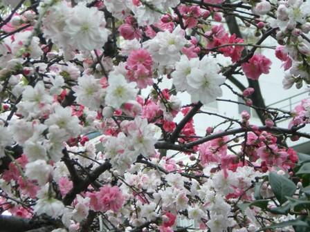 咲き分け桃