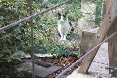 吊り橋猫1