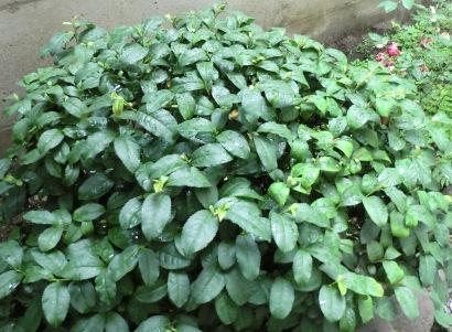 茶の木6月